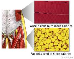 Muscle cells fat cells