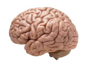 brain 1 300x240