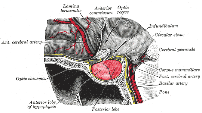 detailed anatomy chart of prostate