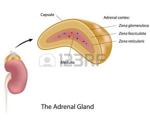 the adrenal gland 300x240