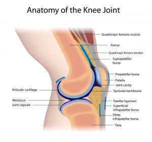 Knee anatomy 300x281