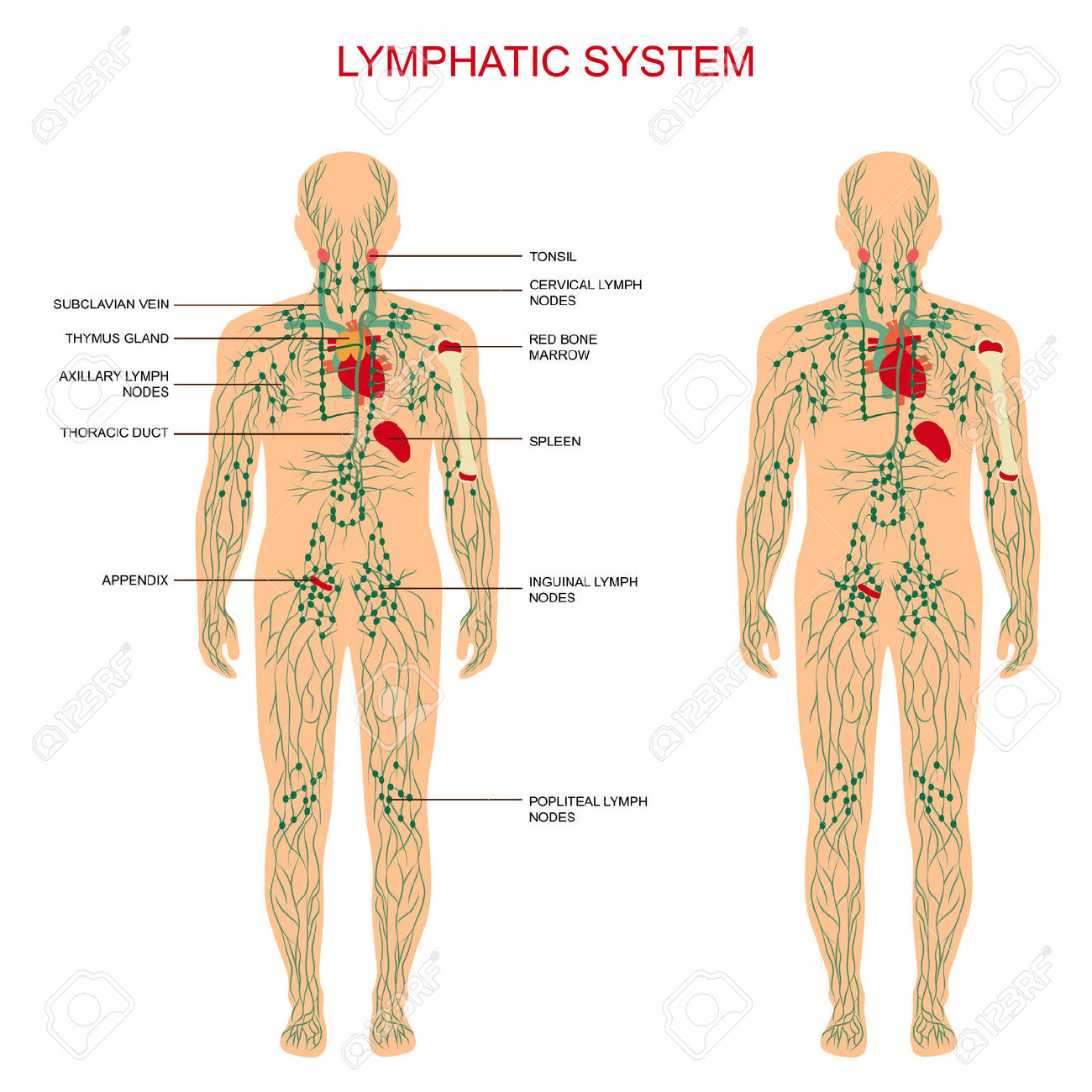 Lymphatic System Crucial System Body on endocrine system diagram worksheet