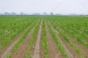 A perspective look down rows of planted corn Stock Photo 300x199