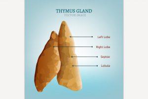 Thymus gland image 300x200