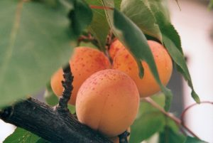 top 25 beneficial food apricot 300x201
